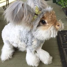 haircut rabbit angora wally