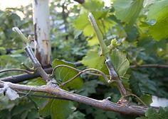 Как правильно обрезать виноград весной для начинающих, схема, фото