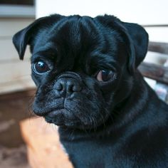 This week's pug photo challenge theme is about taking a step back in time and sharing your favourite flashback photos! Simply tag them with Pug Photos, Pug Pictures, Black Pug Puppies, Dogs And Puppies, Baby Animals, Cute Animals, Puppy Dog Eyes, Pug Life, Funny Dogs