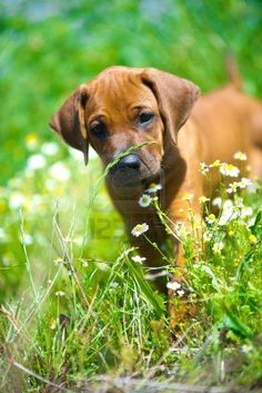 """this is what our """"Honey"""" looked like when we got her at 2 months.... she is growing too fast!..Cute rhodesian ridgeback puppy in a field.."""