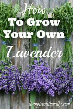 How To Grow Your Own Lavender. Lavender is an herb that has been used for centuries and offers a plethora of health benefits. Originally grown in the Mediterranean, lavender flowers and oil are widely used. Lavender also grows quite well in containers. In the Deep South, it actually does better in pots, as it benefits from improved drainage and air circulation.