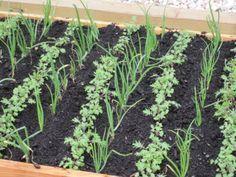 Descubre lo básico en asociación de cultivos y presume de #huerto sano y productivo!
