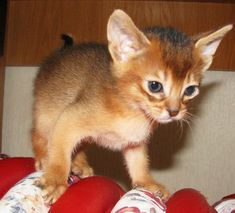 abyssinian cats ruddy  for sale