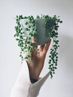 Senecio Rowleyanus aka String of Pearls - beautifully succulent, infinitely captivating. We decided to share our essential plant-care tips for the String of Pearls, not only because we believe the world is winning when the Pearls are thriving, but also because so many of you poor souls struggle to keep them ali