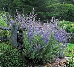 Russian sage, Perovskia atriplicifolia, 3-5 feet tall, lavender or blue flowers and silvery foliage, aromatic leaves are oblong, deeply cut along the edges. Foot-long panicles of flowers bloom for many weeks. Excellent drainage and full sun are ideal, very light shade is tolerated. Plant close to avoid staking since the tall plants tend to flop.  Good for back of flower bed.  Zones 4-9.