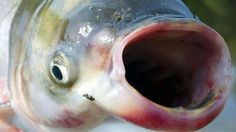 In a paper published online this month by the Canadian Journal of Fisheries and Aquatic Sciences, researchers said 45 grass carp are known t...