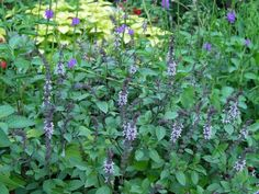 I'm planting four different kinds of summer-loving basil, one of my favorite easy-to-grow culinary herbs, including the tall, extra-flowering kind called 'African Blue' (pictured), which is so good for attracting butterflies and hummingbirds.—Felder Rushing