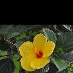 I have this hibiscus plant! It flowers beautiful. *This was out all winter and is gorgeous this summer.*