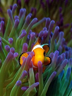 Sea Anemone and Clownfish. Contrary to popular belief that clownfish live in any anemone, only 10 percent of anemone species form a symbiotic relationship with the fish, uh-NEM-uh-nee) often mistaken for plants are actually predatory animals closely related to Coral and jellyfish. Anemones are polyps that attach themselves to rocks on the sea bottom or on coral reefs.