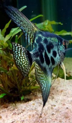 Tropical Freshwater Fish, Tropical Fish Aquarium, Freshwater Aquarium Fish, Saltwater Aquarium, Aquarium Fish Tank, Guppy, Angel Fish Tank, Cool Fish Tanks, Fauna Marina