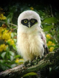 Juvenile Spectacled Owl, Suriname -- by erikat Belgium {that's something you don't see everyday}