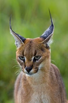 A beautiful Caracal.