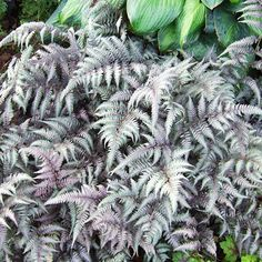 Japanese Painted Fern adds a fine texture to the mix.  It also offers a new color; the silvery-green fonds are flushed with burgundy-purple, adding depth and dimension. Happily, Japanese painted fern is slow-growing, so it won't take over the garden in the way some old-fashioned ferns can.  Name: Athyrium niponicum pictum  Growing Conditions: Shade and moist, well-drained soil rich in organic matter  Plant Size: To 1 foot tall and wide  Zones: 5-8