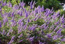 #MELLIFERES AGNEAU CHASTE #arbuste floraison : août