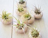 """Yay! Tutorials on """"micro planters"""". Pink Sea Urchin and Air Plant Duo"""