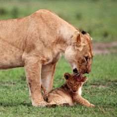 Mommy Lion cleaning her baby.