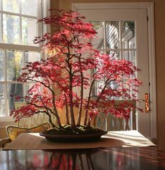Breathtaking bonsai maple forest in autumn. I started one, fewer maples (only 5), and it's not quite to this stage yet!! Check back with me in a few years though :-)