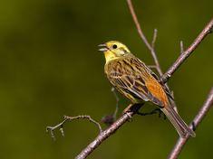 Keltasirkku, Emberiza citrinella - Linnut - LuontoPortti