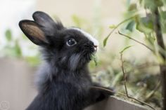 cute-overload: Meet Nutella! my sisters new bunnyhttp://cute-overload.tumblr.com