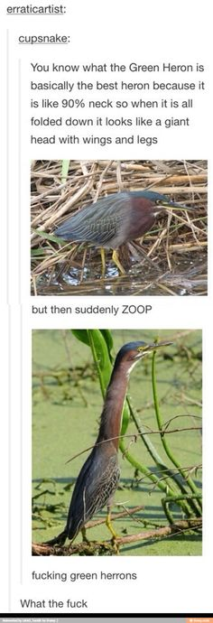 "As a biologist I can confirm that the proper scientific term that describes the action of a green heron extending its neck is indeed ""zoop""."