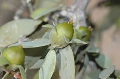Jojoba, Simmondsia chinensis, Seeds (Edible, Long Lived Desert Shrub, Hedge)