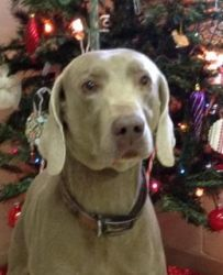 Duke is an adoptable Weimaraner Dog in Buchanan, MI. Hi everyone, I am Duke. Don't let my age of 10 years deter you from getting to know me. I can keep up with my younger foster dog sisters without an...