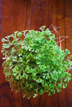 Selaginella brownii 'Lacy Spikemoss'The Rainforest Garden