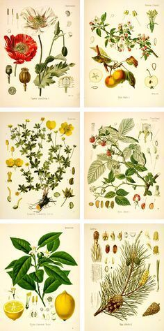 Botanical Drawings | free botanical prints