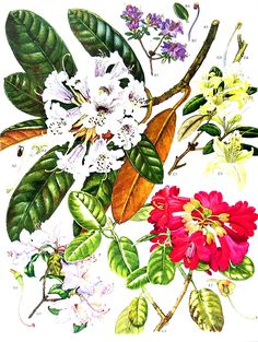 1988 Vintage Botanical Print - Exotic Plants Asian and Himalayan Plants and Flowers -Rhododendrons Gorgeous colors, vivid details, this lovely book plate features flowers and plants from all over the world! Approximately 9 (22.9 cm) by 12 (30.5 cm). Excellent condition, no tears