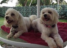 Gadsen, AL - Maltese. Meet Charlie & Coco (FL)! a #BondedPair for adoption <3