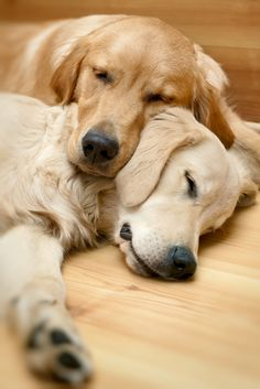 View of two dogs lying - Golden Retriever Poster. Beautiful Dogs, Animals Beautiful, Cute Puppies, Dogs And Puppies, Corgi Puppies, Puppy Husky, Mastiff Puppies, Pet Dogs, Dog Cat