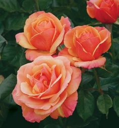 Anna's Promise™, the first in a series of garden roses inspired by the Primetime Emmy™ and Golden Globe™ award-winning British television se...