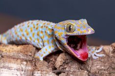 The Amazing Gecko: 20 Interesting Facts about the World's Most Species-Rich Lizard ~ The Ark In Space Funny Animal Memes, Funny Animals, Cute Animals, Funny Memes, Hilarious, Facts For Kids, Fun Facts, Tasteless Memes, Interesting Facts About World