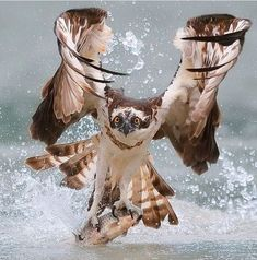 GORGEOUS BIRD WITH A FISH! LOOK AT HIS TALONS!