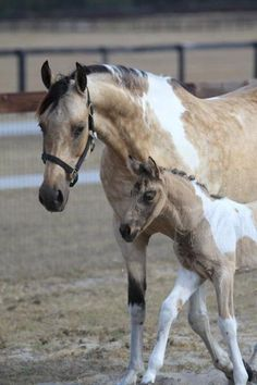 Buckskin Overo Saddlebred Mare and foal de Meis polet Most Beautiful Animals, Beautiful Horses, Beautiful Creatures, Cheval Pie, American Saddlebred, Baby Horses, Majestic Horse, All The Pretty Horses, Horses For Sale
