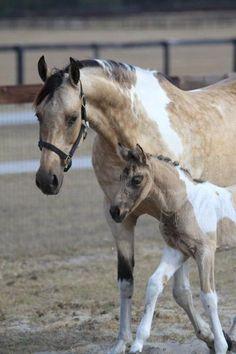 Buckskin Overo Saddlebred Mare and foal