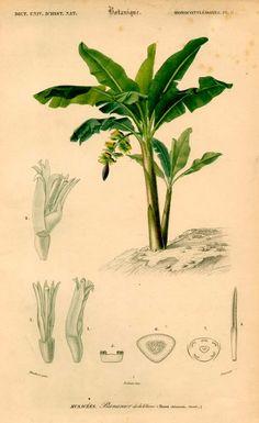 1861 banana tree plant original antique botanical flower print - caladium bicolor