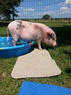 Kiddy Pool: Pools are GREAT! Inflatable pools or hard plastic pools work unless… Tiny Pigs, Small Pigs, Pet Pigs, Happy Animals, Zoo Animals, Cute Animals, Kiddy Pool, Swimming Pigs, Miniature Pigs