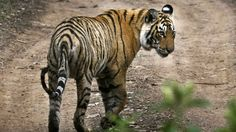 India's most-photographed, crocodile-fighting tiger, Machli, has died in Ranthambore National Park — Quartz
