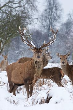 Check out this shot on your new favourite photo community site. Be inspired, get your work seen, and win prizes in our daily photo competitions. Beautiful Creatures, Animals Beautiful, Cute Animals, Wild Animals, Photo Competition, Red Deer, Pet Birds, Winter Wonderland, Hunting