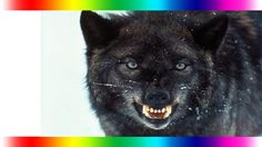 Wild Documentary Rise of Black Wolf - Discovery Channel Wolves Attacks H...