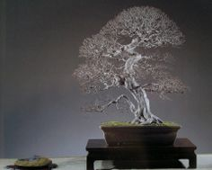 Bonsai Carpinus Japonica.