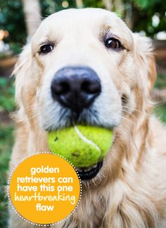 Golden Retrievers Can Have This One, Heartbreaking Flaw...