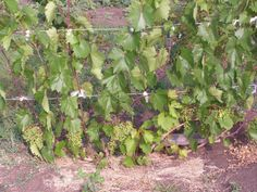 Everything You Could Ever Need To Know About Growing Grapes! Summer House Garden, Home And Garden, Growing Grapes, Green Life, Homesteading, Landscape Design, Vineyard, Backyard, Vegetable Garden