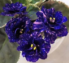 African Violet Plant Cajuns Drama Queen | eBay Cajun's Drama Queen (10578) 01/11/2013 (B. Thibodeaux) Semidouble dark blue frilled pansy/pink and white fantasy. Variegated medium green, white and pink, plain, serrated. Standard