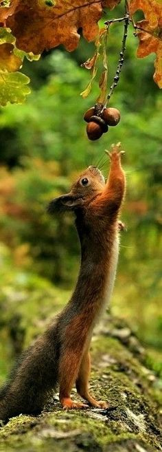 Trying so hard to reach the acorns Nature Animals, Animals And Pets, Baby Animals, Cute Animals, Beautiful Creatures, Animals Beautiful, Cute Squirrel, Squirrels, Funny Bird