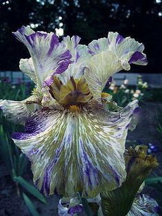 Iris Flowers, Types Of Flowers, Exotic Flowers, Faux Flowers, Amazing Flowers, Iris Garden, Lawn And Garden, Garden Plants, House Plants
