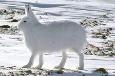雪玉じゃないよ、雪見大福でもないよ。雪と同化するホッキョクウサギのまんまる画像(動画あり) : カラパイア