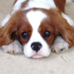 Cavalier King Charles Spaniel Dogs This is what I want as the next member of my family.
