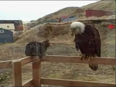 "An eagle visits my cat - YouTube - They are both thinking the same thing ""Can I eat it?"""
